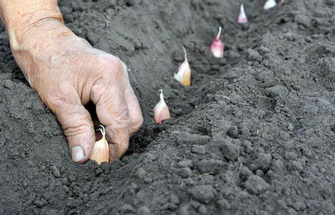 при какой температуре сажают чеснок под зиму