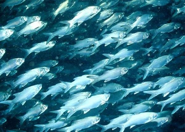 косяк голубой рыбы