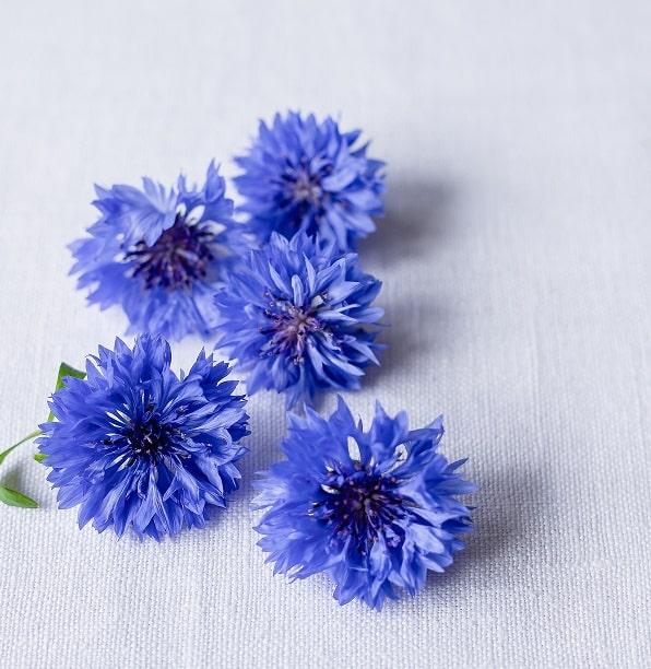 съедобные цветы василек