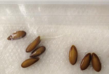 тест на прорастаемость семян