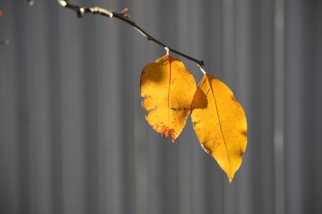 сгребать листья под деревьями или нет
