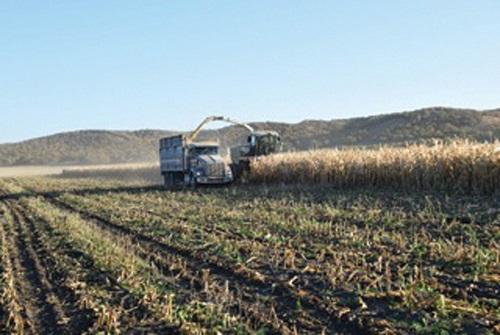 выращивание силосной кукурузы