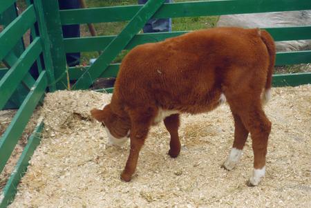 теленок в загоне