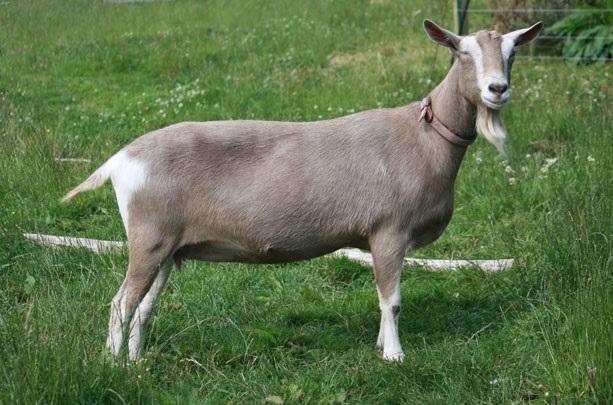 Тоггенбургская коза