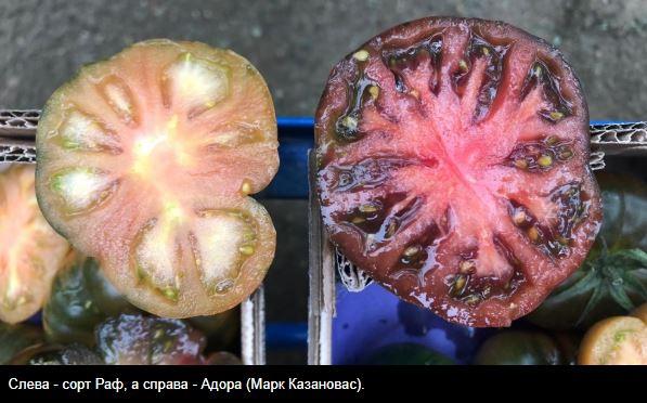 томаты раф