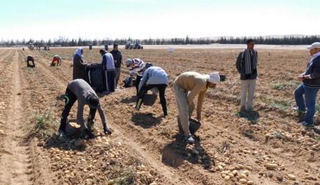 уборка картофеля в Египет