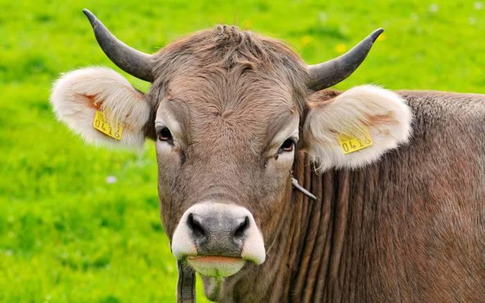 Коровам в Амурской области начали вживлять чипы и вешать бирки