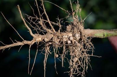 клубеньки на корнях сои