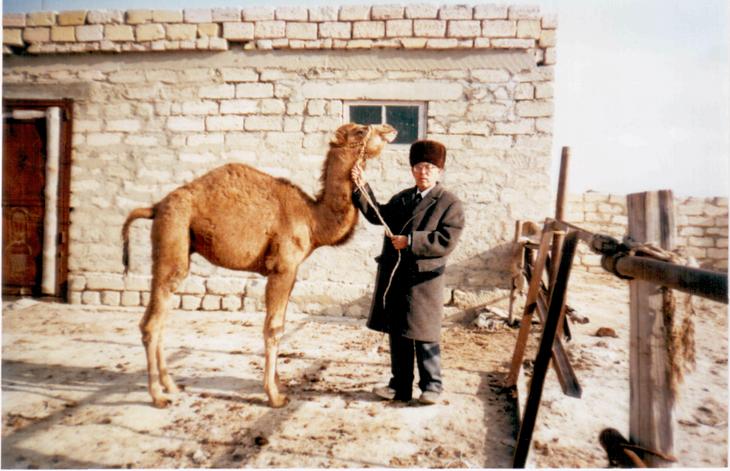 верблюжонок казахского бактриана