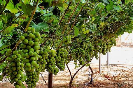 vinograd-grappl.jpg