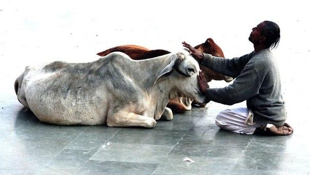 благополучие скота