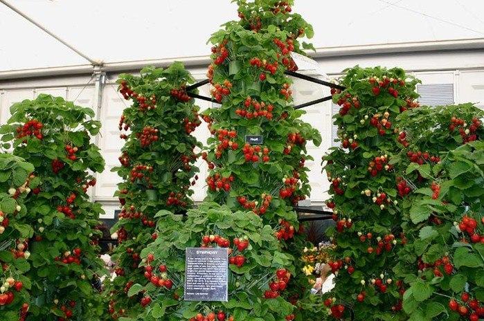Вертикальная клубника выращивание