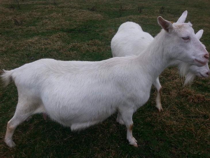 зааненская коза как выглядит