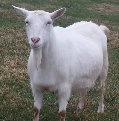 зааненская коза швейцарского типа